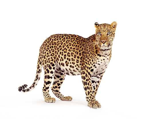 LEP 20 RK0035 02 © Kimball Stock Full Body Shot Of Spotted Leopard Standing At Angle On White Box Facing Camera White Seamless