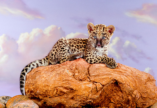LEP 20 RK0138 13 © Kimball Stock Spotted Leopard Cub Laying On Top Of Red Rocks Purple Cloudy Sky Background Studio