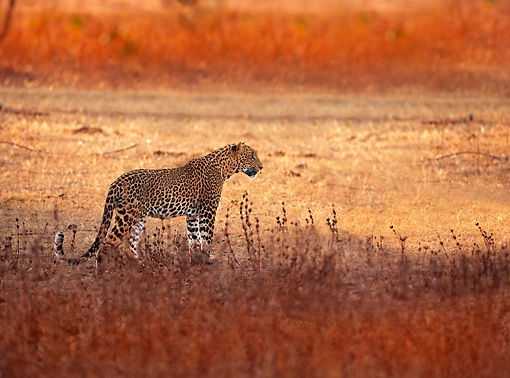 LEP 20 WF0002 01 © Kimball Stock Sri Lankan Leopard Standing In Field At Sunset