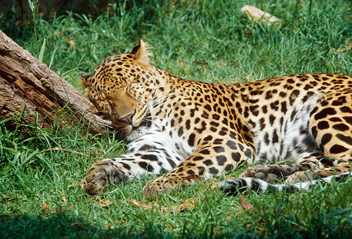 LEP 20 RC0001 01 © Kimball Stock Leopard Sleeping In Grass By Tree Trunk