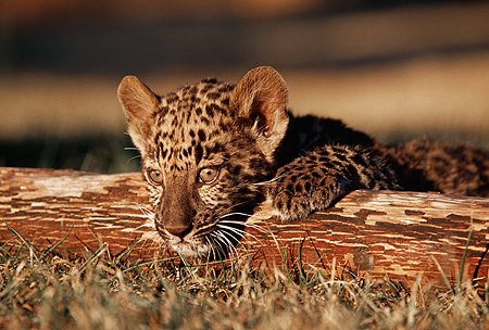 LEP 20 RK0108 06 © Kimball Stock Head Shot Of Spotted Leopard Cub On Tree Branch Facing Camera