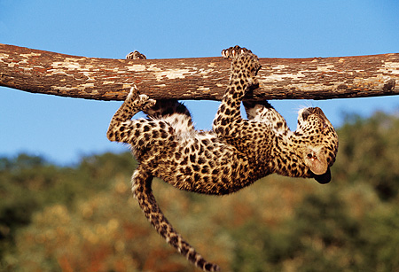 LEP 20 RK0113 13 © Kimball Stock Humorous Shot Of Spotted Leopard Cub Hanging From Tree Branch Blue Sky