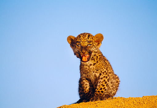 LEP 20 RK0129 01 © Kimball Stock Spotted Leopard Cub Sitting On Top Of Dirt Hill Mouth Open Blue Sky