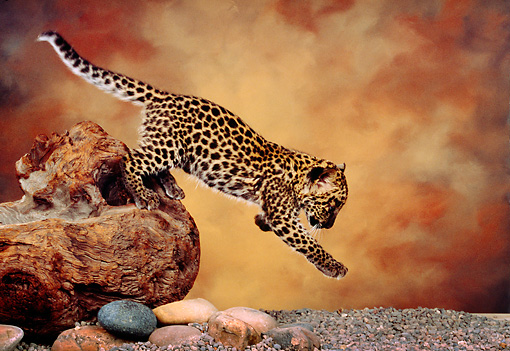 LEP 20 RK0143 01 © Kimball Stock Profile Shot of Spotted Leopard Cub Jumping Off Tree Trunk Studio