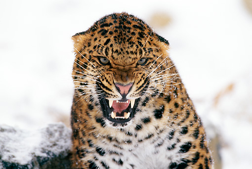 LEP 20 TL0001 01 © Kimball Stock Head Shot Of Amur Leopard Snarling At Camera