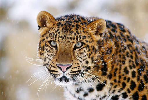 LEP 20 TL0002 01 © Kimball Stock Head Shot Of Amur Leopard Staring At Camera