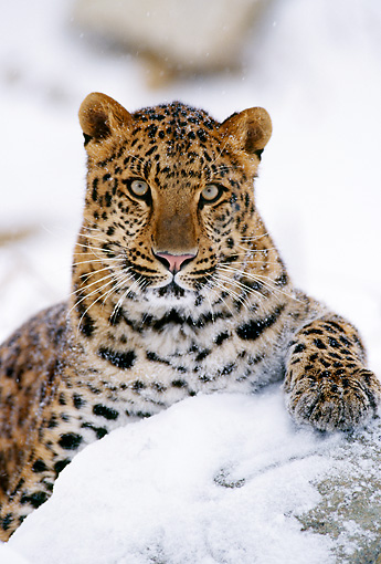 LEP 20 TL0003 01 © Kimball Stock Portrait Of Amur Leopard Staring At Camera From Snow-Covered Rock