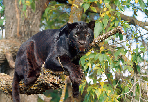 LEP 30 BA0001 01 © Kimball Stock Black Leopard Laying On Tree Branch