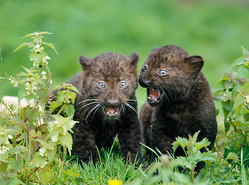 LEP 30 GL0001 01 © Kimball Stock Two Black Leopard Cubs Playing On Grass