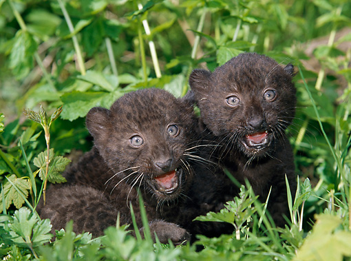 LEP 30 GL0002 01 © Kimball Stock Two Black Leopard Cubs Sitting In Grass