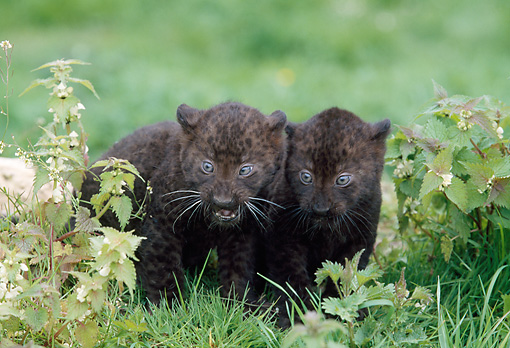 LEP 30 GL0003 01 © Kimball Stock Two Black Leopard Cubs Playing In Grass