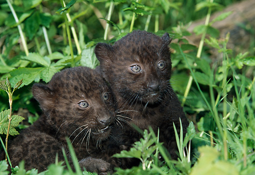 LEP 30 GL0004 01 © Kimball Stock Two Black Leopard Cubs Sitting In Plants