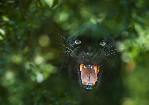 LEP 30 MB0001 01 © Kimball Stock Black Leopard Emerging From Dense Bushes At Forest Animal Rescue In Ocala Florida