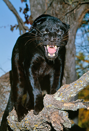 LEP 30 RK0004 01 © Kimball Stock Black Leopard Standing In Tree Mouth Open Growling At Camera