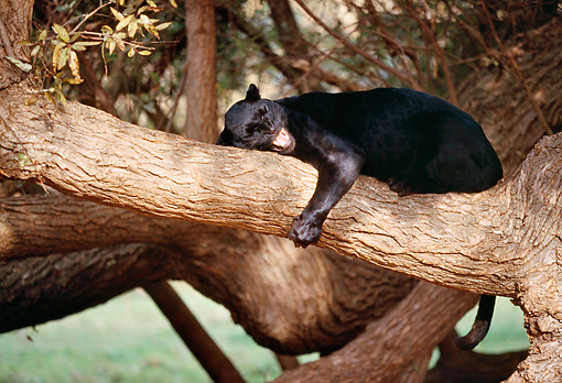 LEP 30 RK0043 16 © Kimball Stock Full Body Shot Of Black Leopard Laying On Tree Hugging Branches