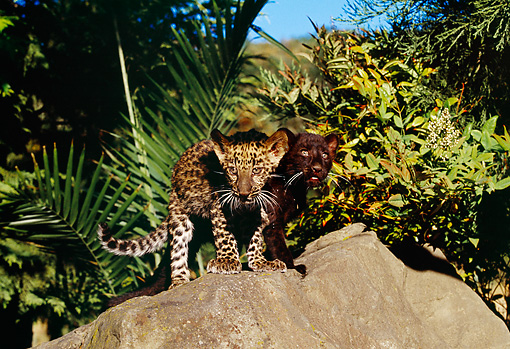 LEP 30 RK0218 03 © Kimball Stock Black And Spotted Leopard Cubs Standing On Rock Together By Plants