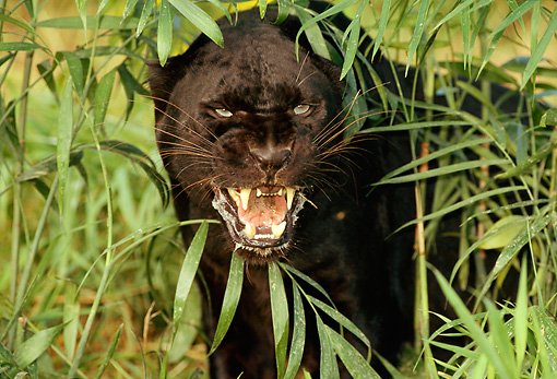 LEP 30 LS0001 01 © Kimball Stock Head Shot Of Black Leopard Growling By Foliage