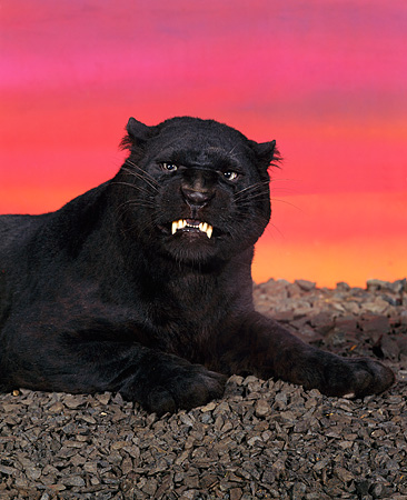 LEP 30 RK0001 01 © Kimball Stock Black Leopard Snarling On Pebbles Sunset