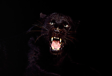 LEP 30 RK0015 04 © Kimball Stock Black Leopard Head Shot Growling Mouth Open Teeth Showing Studio Background