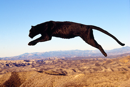 Black Panther Leaping black panther -...