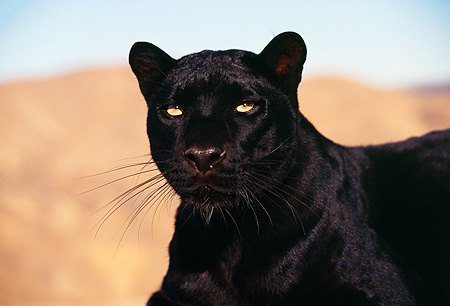 LEP 30 RK0036 01 © Kimball Stock Close Up Head Shot Of Black Leopard  Standing Looking