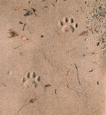 LEP 30 RK0076 02 © Kimball Stock Paw Prints In Sand From Leopard