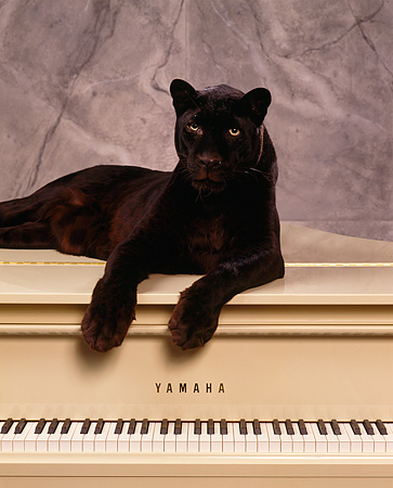 LEP 30 RK0096 63 © Kimball Stock Black Leopard Laying Down On Top Of Beige Piano Paws In Front Gray Marble Background Facing Camera