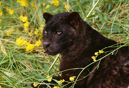 Head shot of black leopard laying in tall grass with yellow flowers kimballstocklep 30 rk0116 03preview mightylinksfo
