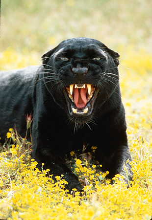 LEP 30 RK0131 49 © Kimball Stock Black Leopard Laying On Yellow Field Of  Flowers Facing