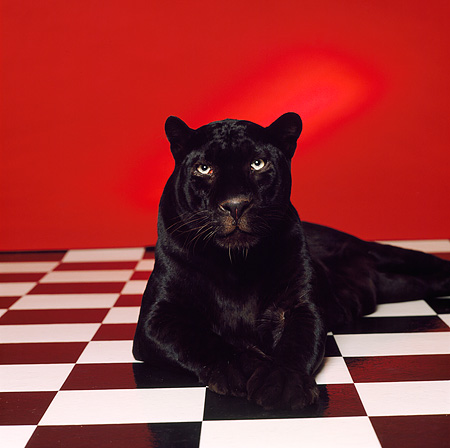 LEP 30 RK0144 13 © Kimball Stock Black Leopard Laying On Black And White Checkered Floor Facing Camera Red Seamless Background