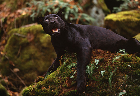 LEP 30 RK0181 07 © Kimball Stock Black Leopard Laying On Rock Covered With Moss And Ferns Growling