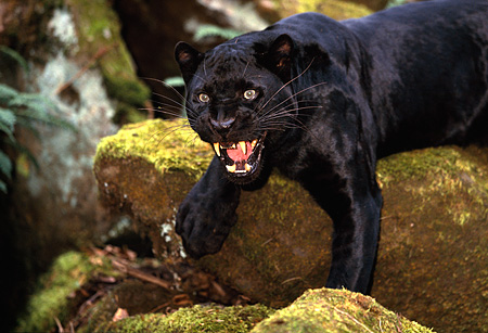LEP 30 RK0188 04 © Kimball Stock Close Up Of Black Leopard Laying With Paws Hanging Off Molded Covered Rock Growling Teeth Showing