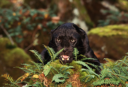LEP 30 RK0192 03 © Kimball Stock Head Shot Of Black Leopard Laying Behind Plants Growling
