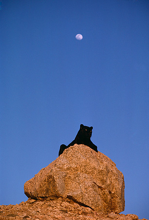 LEP 30 RK0226 01 © Kimball Stock Distant Shot Of Black Leopard Laying On Rock At Night With Moon