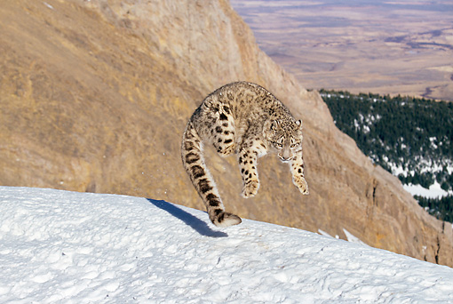 LEP 40 GL0002 01 © Kimball Stock Snow Leopard Leaping On Snowy Mountainside