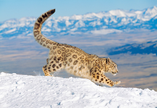 LEP 40 GL0003 01 © Kimball Stock Snow Leopard Running On Snowy Mountainside