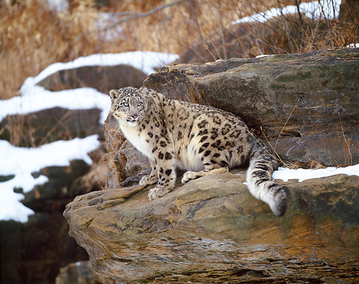 LEP 40 JZ0001 01 © Kimball Stock Snow Leopard Sitting On Boulder In Snowy Forest