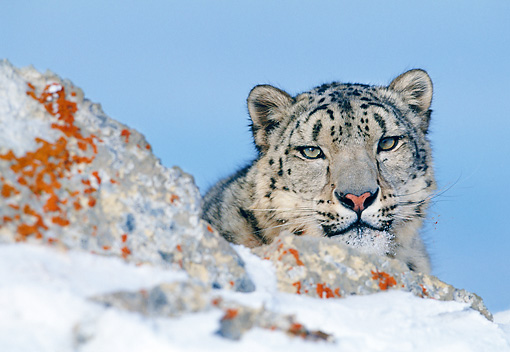 LEP 40 KH0001 01 © Kimball Stock Head Shot Of Snow Leopard Behind Snowy Boulder