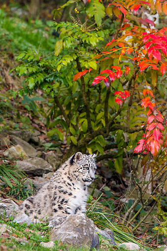 LEP 40 KH0002 01 © Kimball Stock Snow Leopard Sitting Under Tree