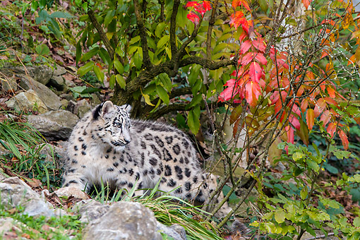 LEP 40 KH0003 01 © Kimball Stock Snow Leopard Laying Under Tree