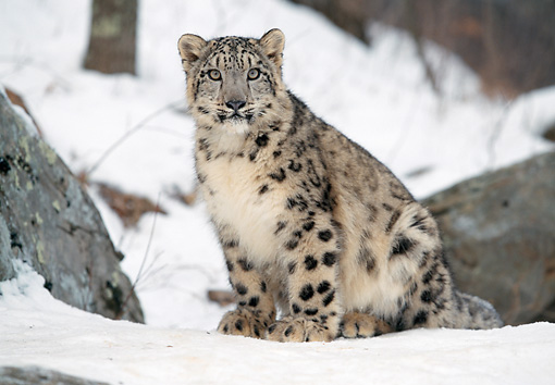 LEP 40 LS0004 01 © Kimball Stock Snow Leopard Sitting On Snow
