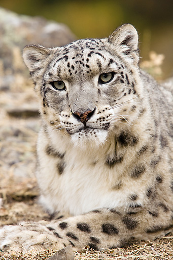 LEP 40 MC0001 01 © Kimball Stock Portrait Of Snow Leopard Laying On Dirt