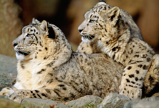 LEP 40 MH0001 01 © Kimball Stock Close-Up Of Two Snow Leopards Resting On Rocks