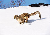 LEP 40 RK0001 13 © Kimball Stock Snow Leopard Running Down Hill Of Snow
