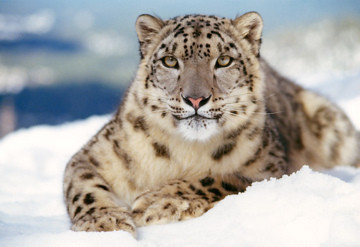 LEP 40 RK0125 07 © Kimball Stock Close-up Of Head Shot Of Snow Leopard Laying In Snow Facing Camera