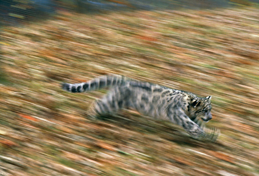 LEP 40 RK0186 01 © Kimball Stock Snow Leopard Cub Running Fast On Hill Covered With Leaves Blurry