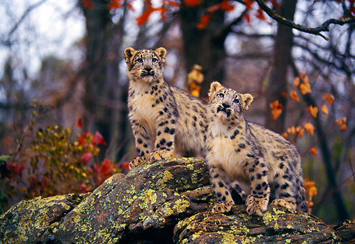 LEP 40 RK0261 01 © Kimball Stock Two Snow Leopard Cubs Standing On Boulder In Woods