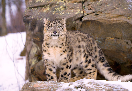 LEP 40 LS0001 01 © Kimball Stock Snow Leopard Standing On Rock Ledge In Winter