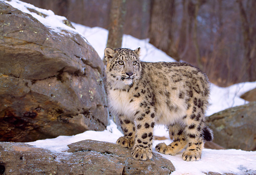 LEP 40 LS0002 01 © Kimball Stock Snow Leopard Standing On Rock Ledge In Winter