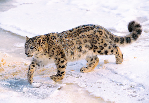 LEP 40 LS0003 01 © Kimball Stock Overhead View Of Snow Leopard Walking On Snow In Winter
